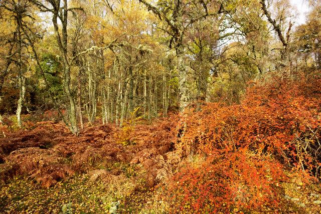 Autumn in Balblair Wood