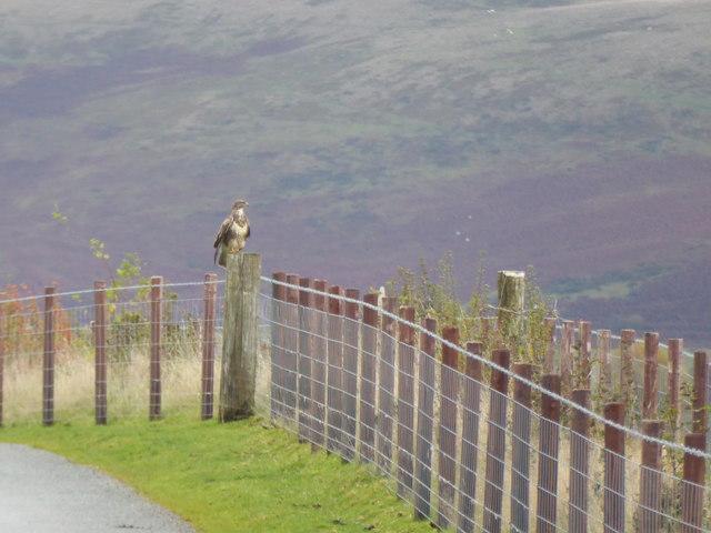 Buzzard on the fenceline