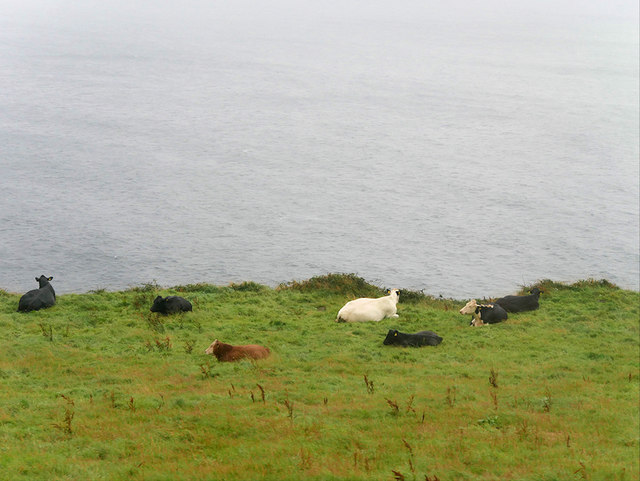 Cows Grazing on the Dingle Peninsula