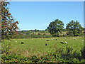 SJ9230 : Staffordshire pasture north-west of Burston by Roger  Kidd
