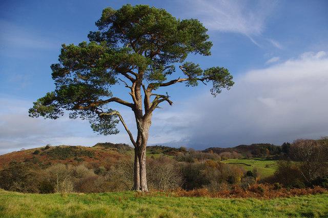 Scots pine, Hawkearth Bank