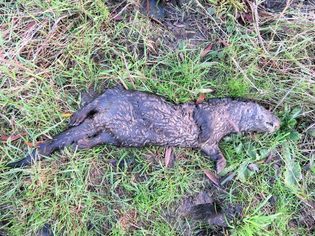 Dead otter near Earith - The Ouse Washes