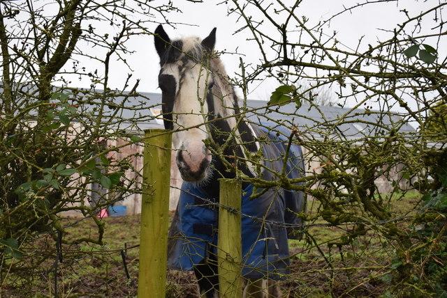 Inquisitive horse with coat, Seskinore