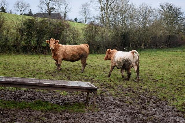 Cattle in a mucky field, Seskinore