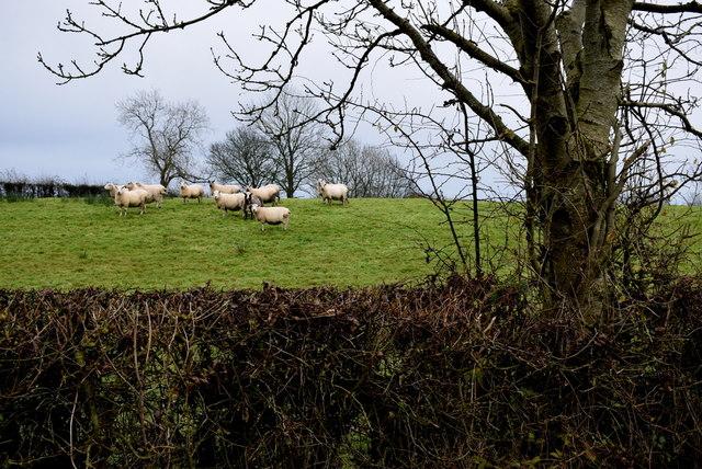 Sheep, Seskinore