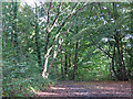 TQ1191 : Small clearing in Nanscot Wood by Mike Quinn