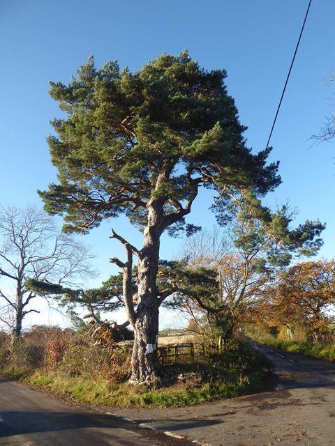 Roadside pine tree