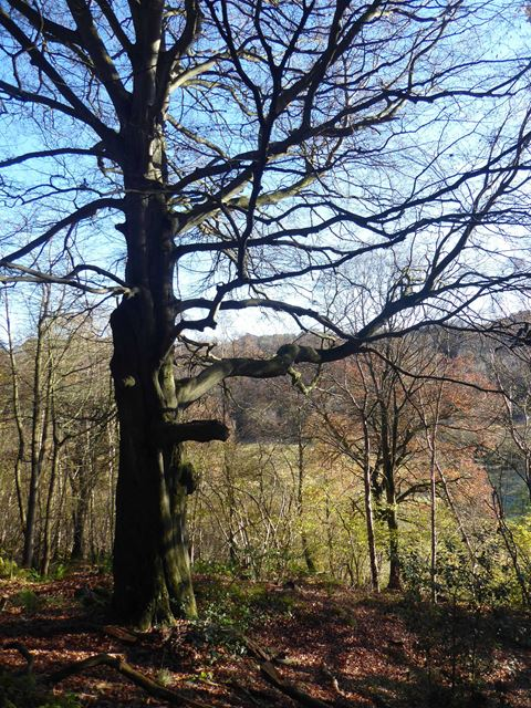 Beech tree below Ordley