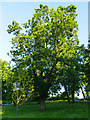 NS5667 : Black Oak in Glasgow Botanic Garden by Stephen Craven