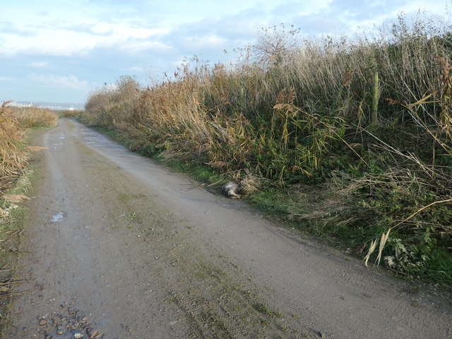 Dead badger on a restricted byway, Frodsham Marsh