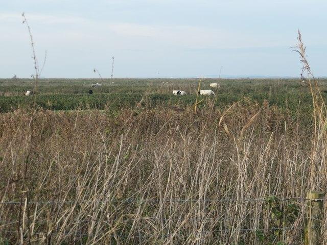 Cattle grazing on Frodsham Marsh