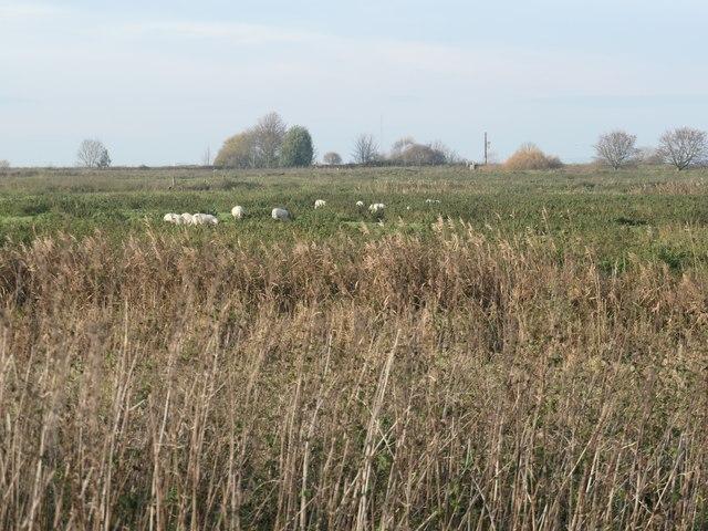 Sheep grazing on Frodsham Marsh