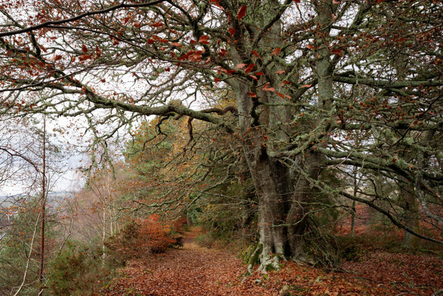 Beech tree by the River Beauly
