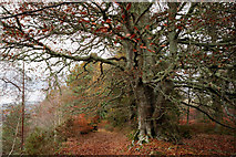 NH4943 : Beech tree by the River Beauly by Julian Paren