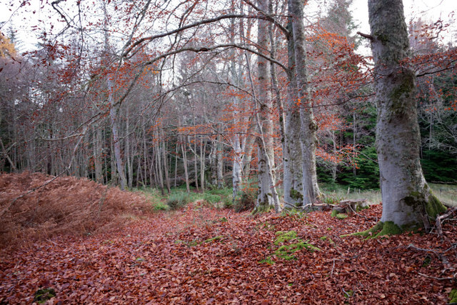 Deciduous trees at the edge of the woodland at Lagvoulin