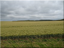 SU1062 : Cereal crop near Alton Barnes by JThomas