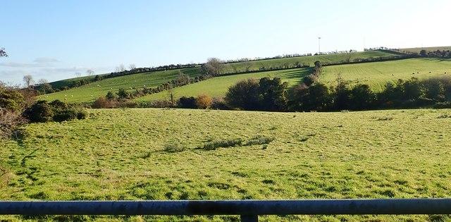 Sheep grazings on drumlin land East of the Drumgavlin Road