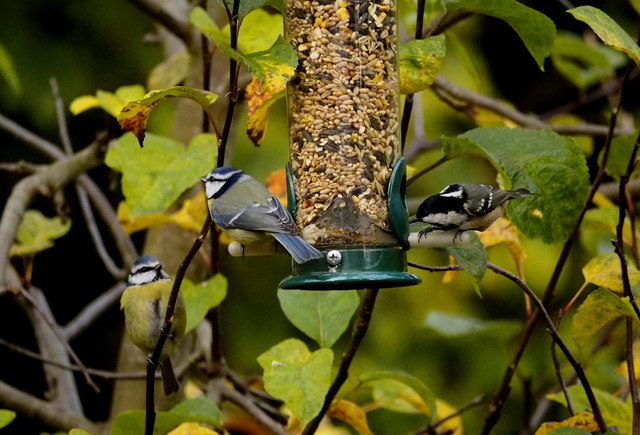 Two Blues and a Coal Tit