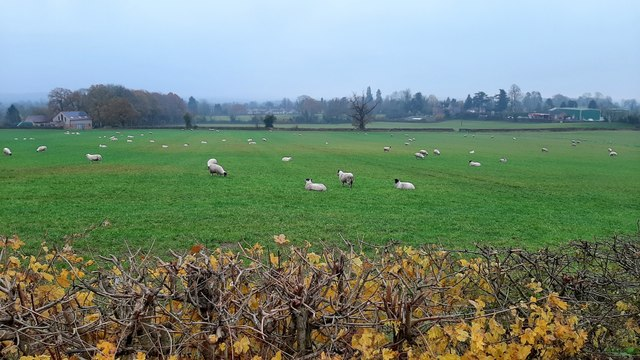 The sheep are back