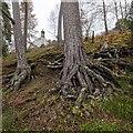 NH8305 : Scots Pines below Insh Church by valenta