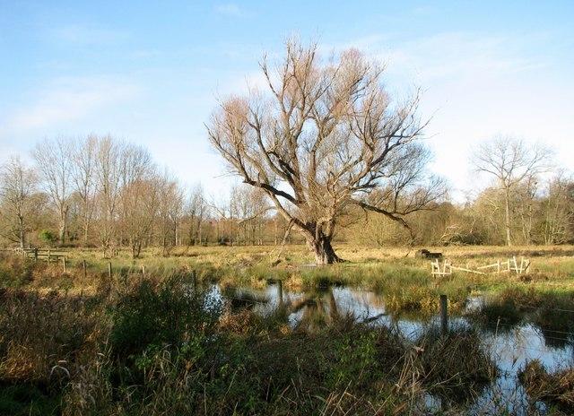 Ancient willow tree on Marston Marsh