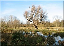 TG2105 : Ancient willow tree on Marston Marsh by Evelyn Simak