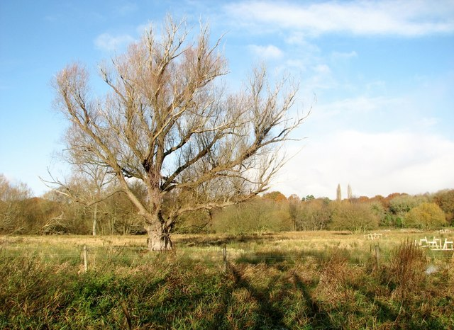 Old willow tree in a pasture on Marston Marsh