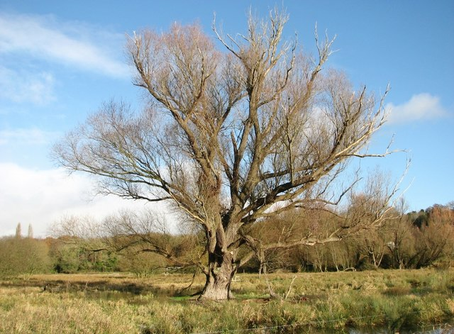 Ancient willow in a marsh pasture
