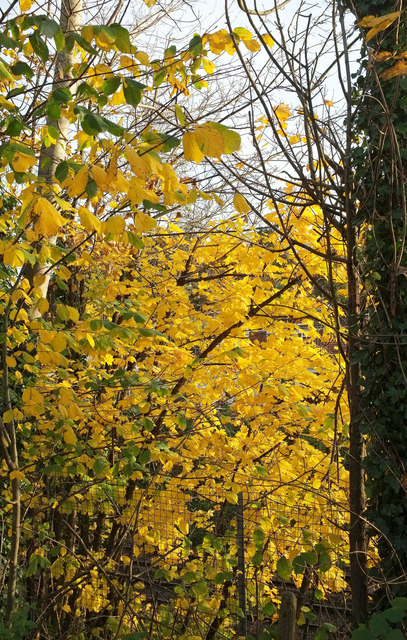 Sycamore leaves near Shiphay Bridge