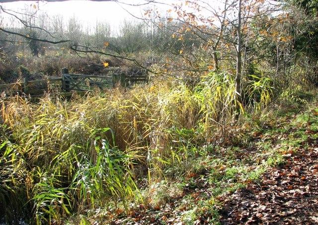 Reeds on the edge of Marston Marsh