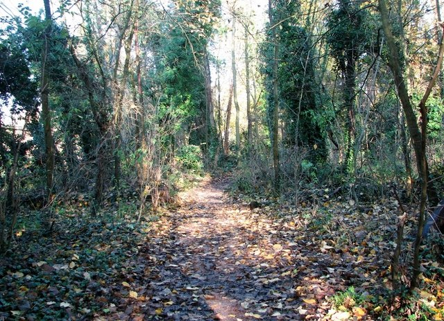 Path past ivy-clad trees in Danby Wood