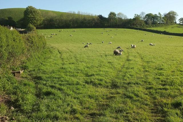 Sheep pasture near Swimbridge