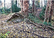 TG2105 : Tree roots on a path in Danby Wood by Evelyn Simak