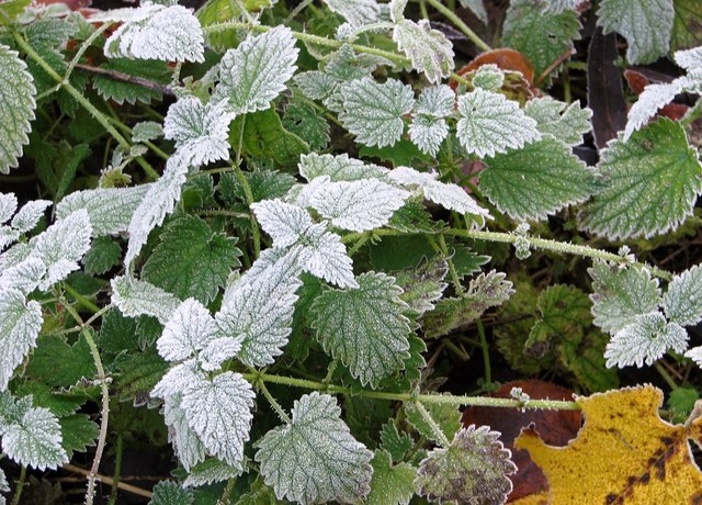 Frosted nettles