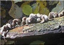 TG2105 : Silverleaf fungus (Chondrostereum purpureum) by Evelyn Simak
