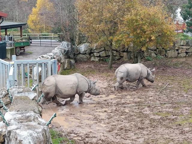 The Indian Rhinos go for a stroll, Fota Wildlife Park