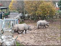 W7871 : The Indian Rhinos go for a stroll, Fota Wildlife Park by Robin Webster