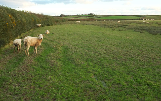 Sheep near Voscombe