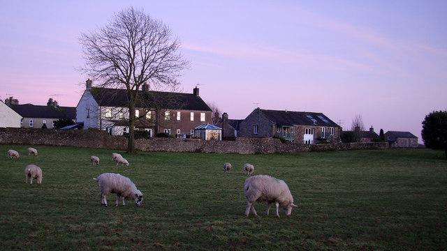 Grazing sheep, Whittingham