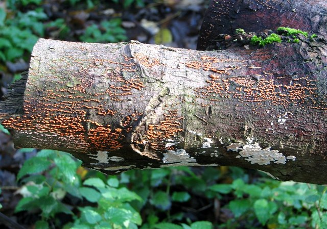Nectria cinnabarina (Coral Spot)