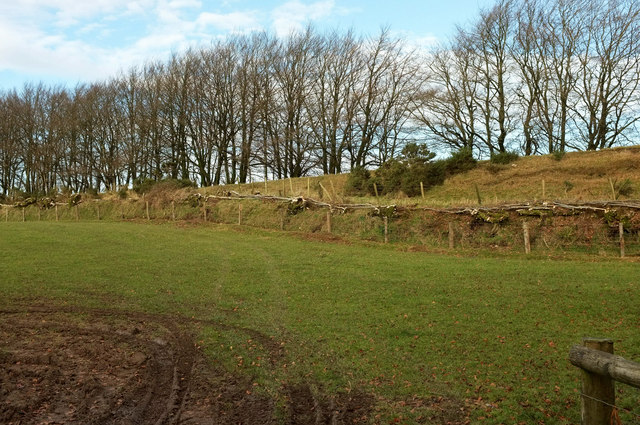 Hedge-laying by the old railway