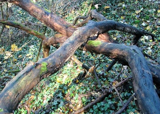 Dead trees in Danby Wood