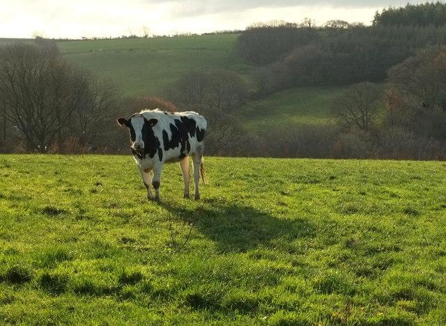 Cow at Huntshaw