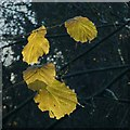 SK6465 : Rufford Abbey Country Park – hazel leaves by Alan Murray-Rust