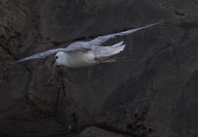 Fulmar (Fulmarus glacialis), Ristie Nesses, Foula