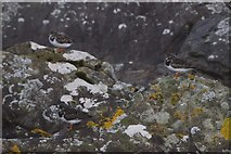 HT9541 : Turnstones (Arenaria interpres), Ristie Nesses, Foula by Mike Pennington
