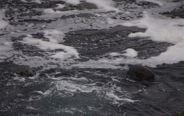 Grey Seals (Halichoreus grypus), Ristie Nesses, Foula