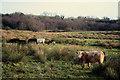 H4269 : Cattle in rough ground, Fireagh by Kenneth  Allen