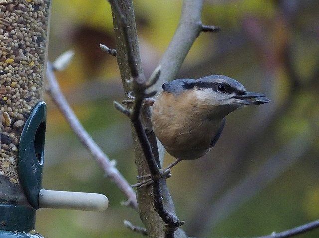 Nuthatch and sunflower seed