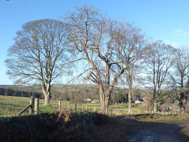 Wintry trees beside Whiteside Bank